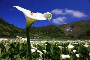 차이푸 칼라꽃 밭 (財福)